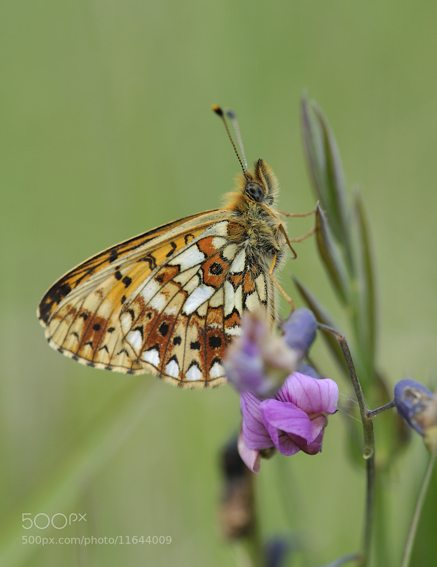Photograph small pearl-bordered fritillary (boloria selene) by Kevin  Keatley on 500px
