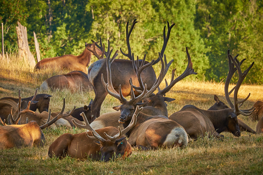 Photograph Elk in the Afternoon by Jeff Carlson on 500px