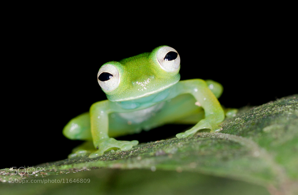 Photograph Glass Frog 2 by Brian Lee on 500px