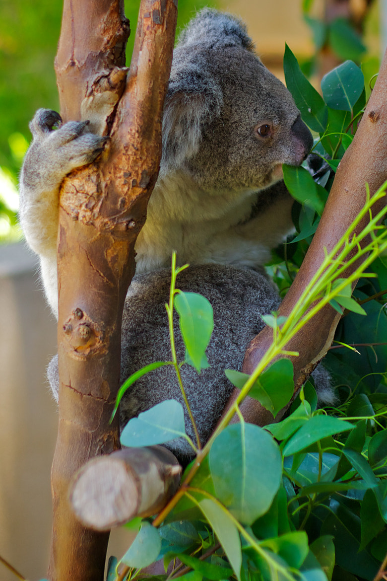Photograph Koala by Angel Jimenez de Luis on 500px