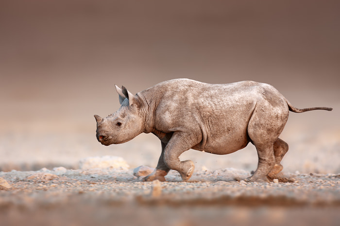 Black Rhinoceros baby running by Johan Swanepoel on 500px.com