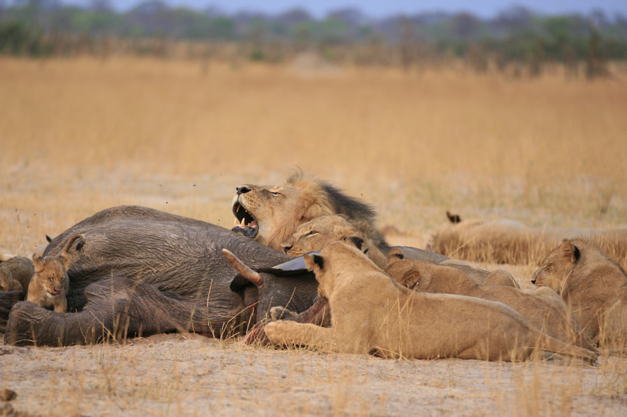 Cecil and his linkwasha family by Brent Stapelkamp on 500px.com