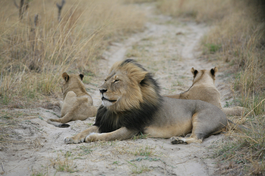 Cecil and his cubs by Brent Stapelkamp on 500px.com