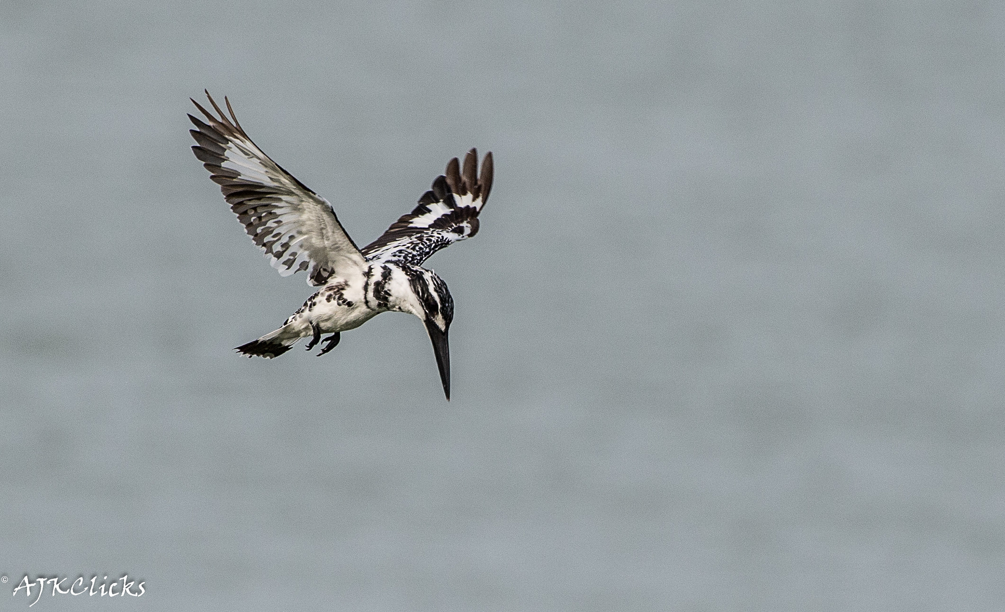 Photograph Pied Kingfisher by AJK Clicks on 500px