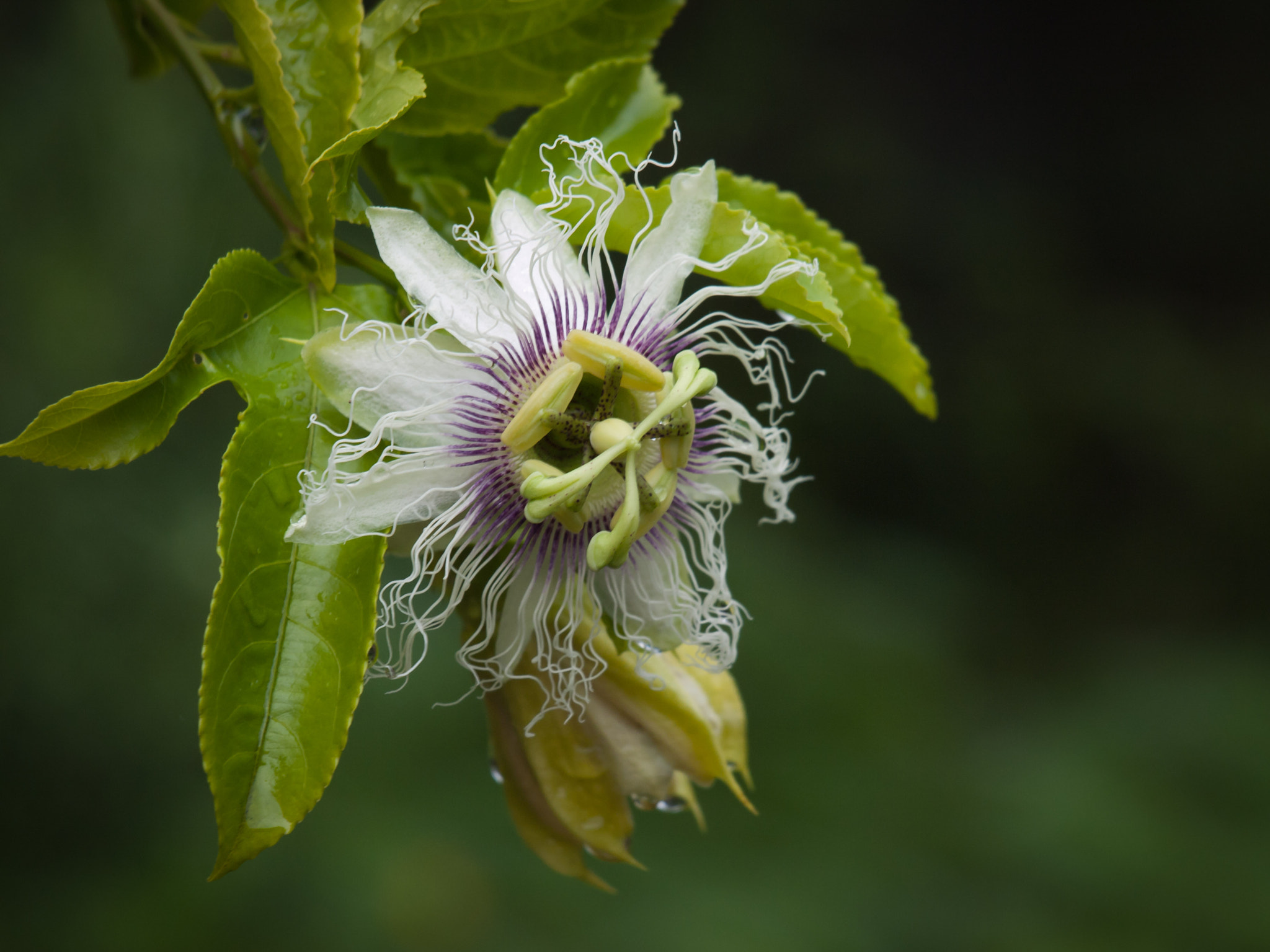Photograph Passionfruit flower by LifeSparkle on 500px