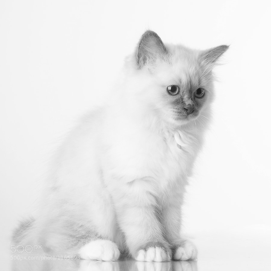 Sacred Birman Kitten by Rob de Ruiter