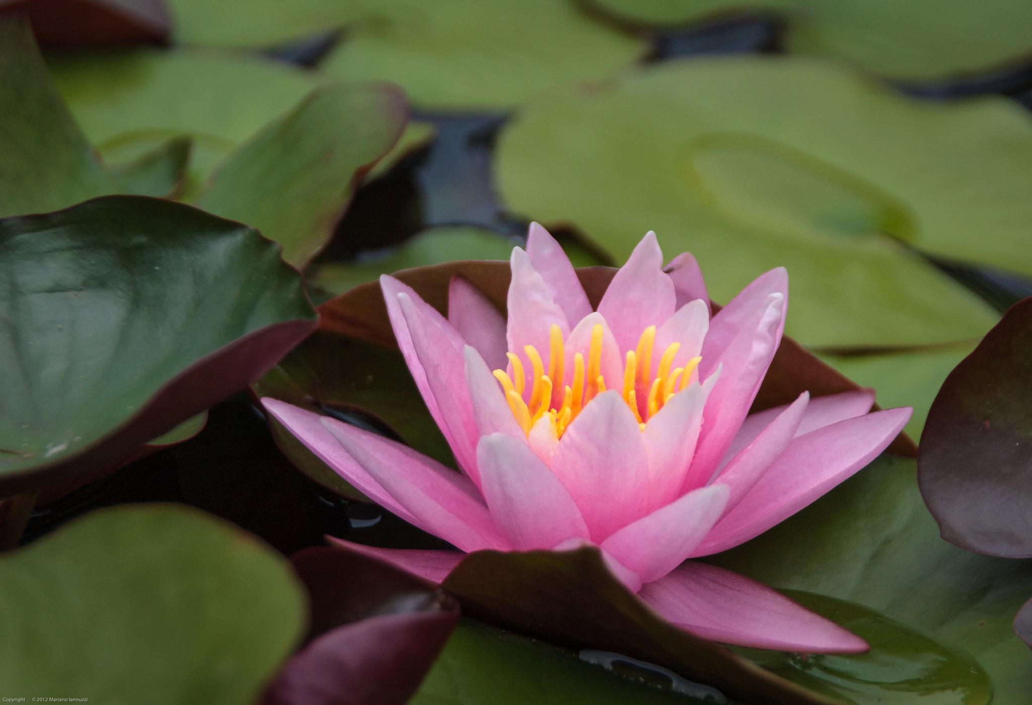 Photograph Water Lily by Mariano Iannuzzi on 500px