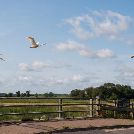 Swan Flypast
