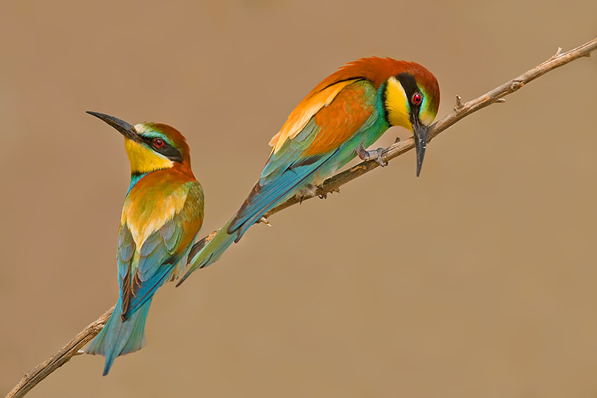 Photograph European Bee-eater by nissim levi on 500px