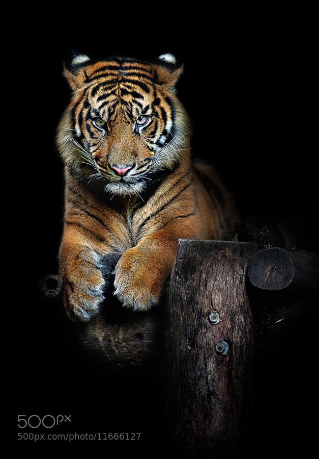 Photograph Hutan (one year old Sumatran Tiger) by Art X  on 500px