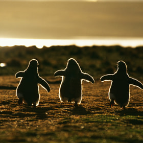 Gentoo Penguins by Andreas Butz (abutz)) on 500px.com