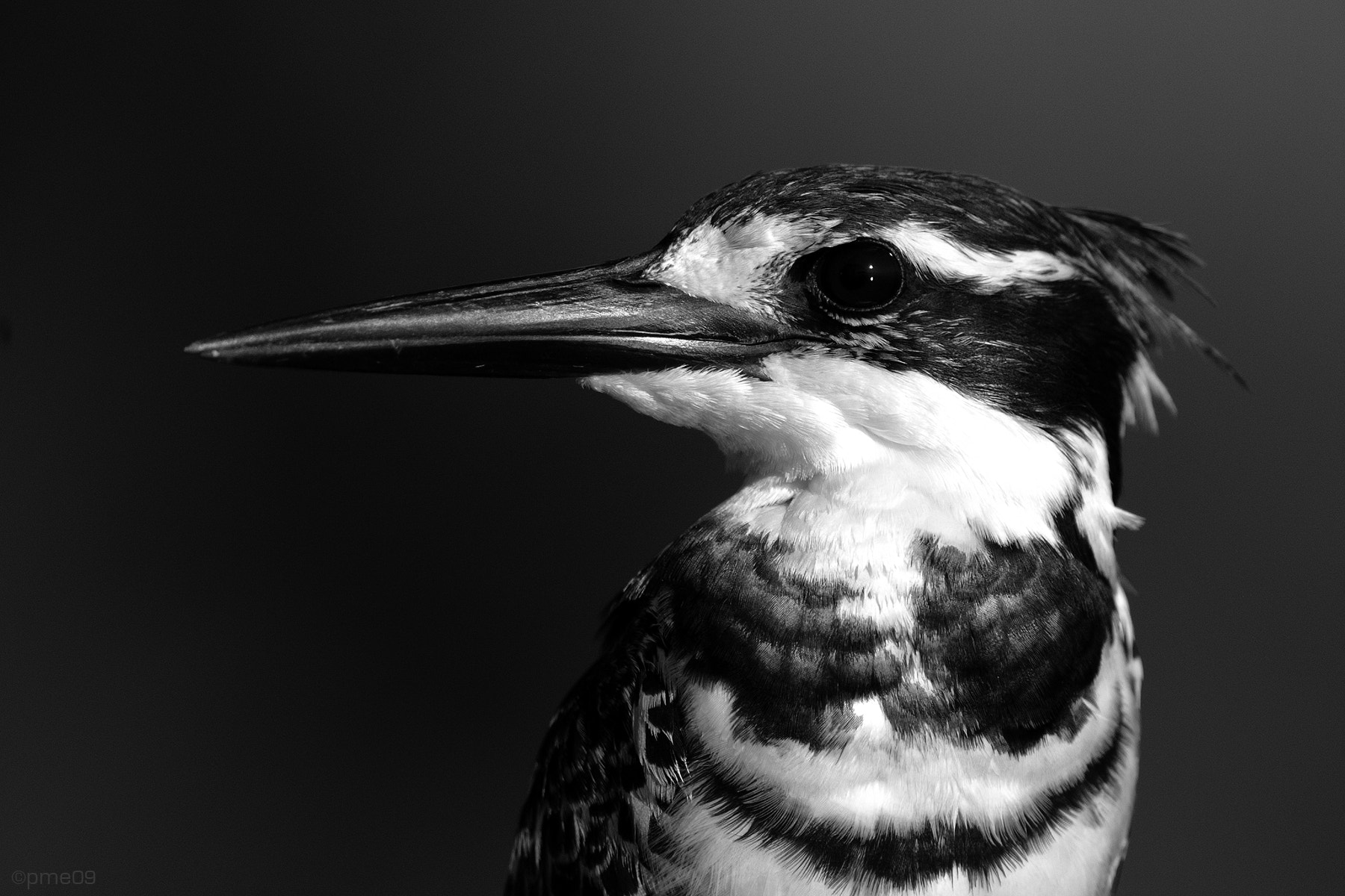 Photograph Pied kingfisher ♂ by Patrick Meier on 500px