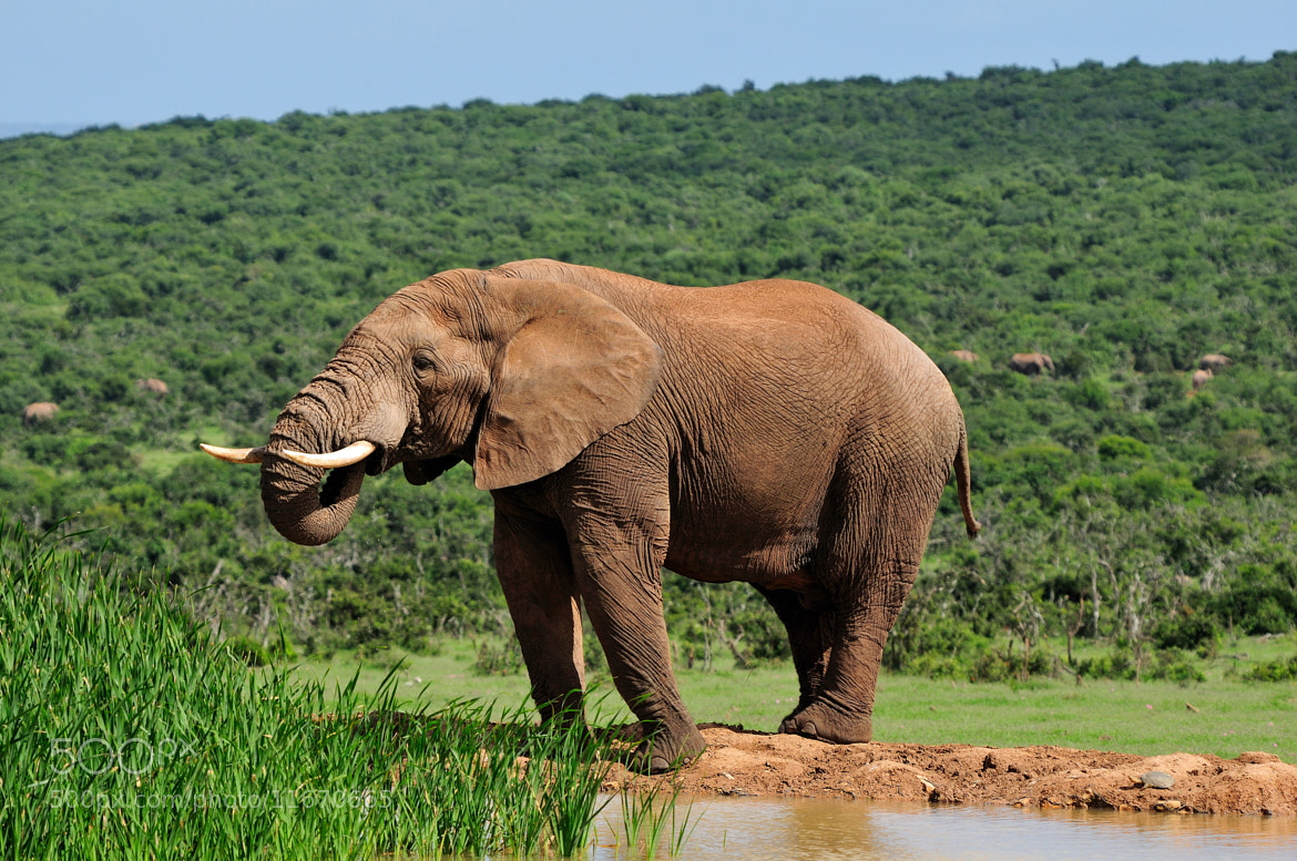 Photograph Elephant drinking water at Harpoor Dam, Addo National PARK, Sout by Grobler du Preez on 500px