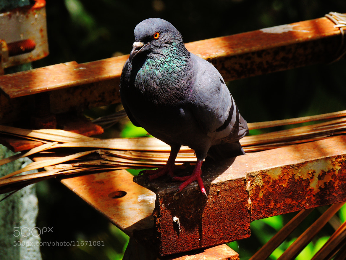 Photograph Rustic Pigeon. by Ravi S R on 500px