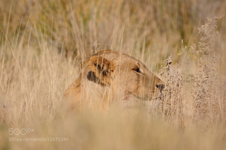Photograph Lion, Panthera leo, in the Etosha National Park by Grobler du Preez on 500px