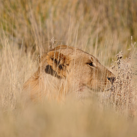 Lion, Panthera leo, in the Etosha National Park by Grobler du Preez (dpreezg)) on 500px.com