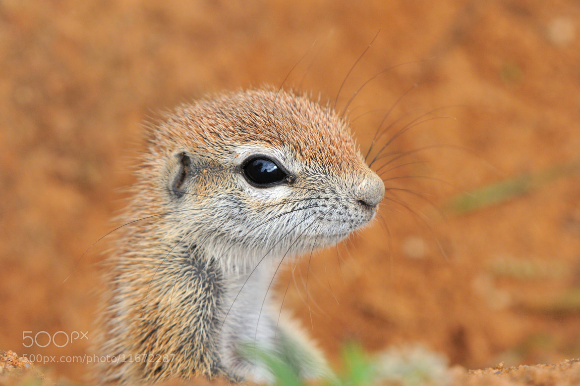 Photograph Cape Ground Squirrel by Grobler du Preez on 500px
