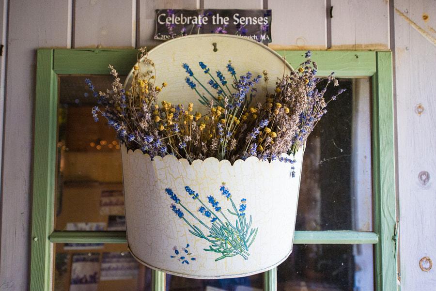 Cape Cod Lavender