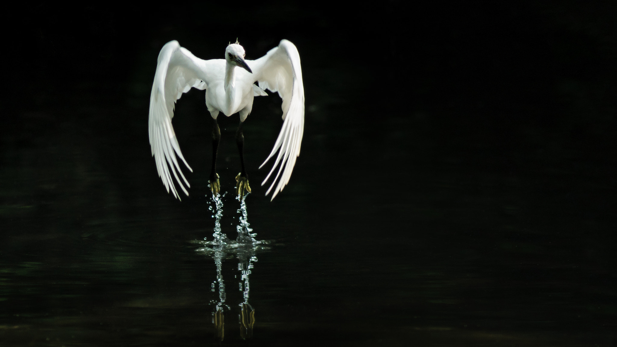 Photograph In flight Egret by Dave Flynn on 500px