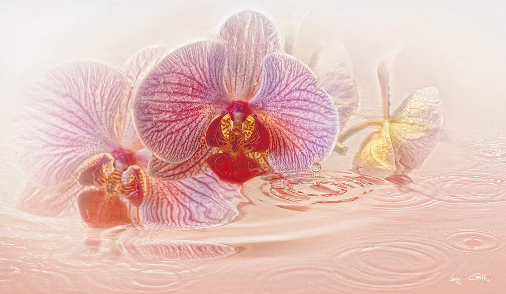 Photograph Orchids by Luiza  Gelts -            Луиза  Гельтс on 500px