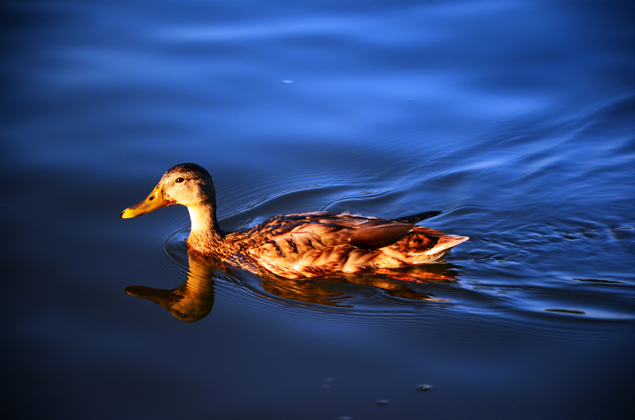 Photograph 'Ducky' by Alexander Brown on 500px