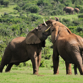 Two Elephants fighting, Addo Elephant National park, South Africa by Grobler du Preez (dpreezg)) on 500px.com