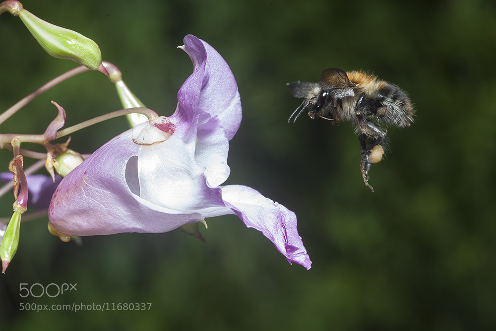 Photograph Flight of the Bee by Dale Sutton on 500px