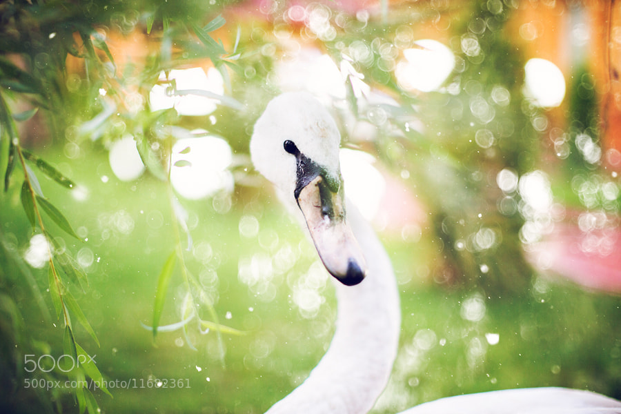Photograph Swan and willow by Kristina Makeeva on 500px