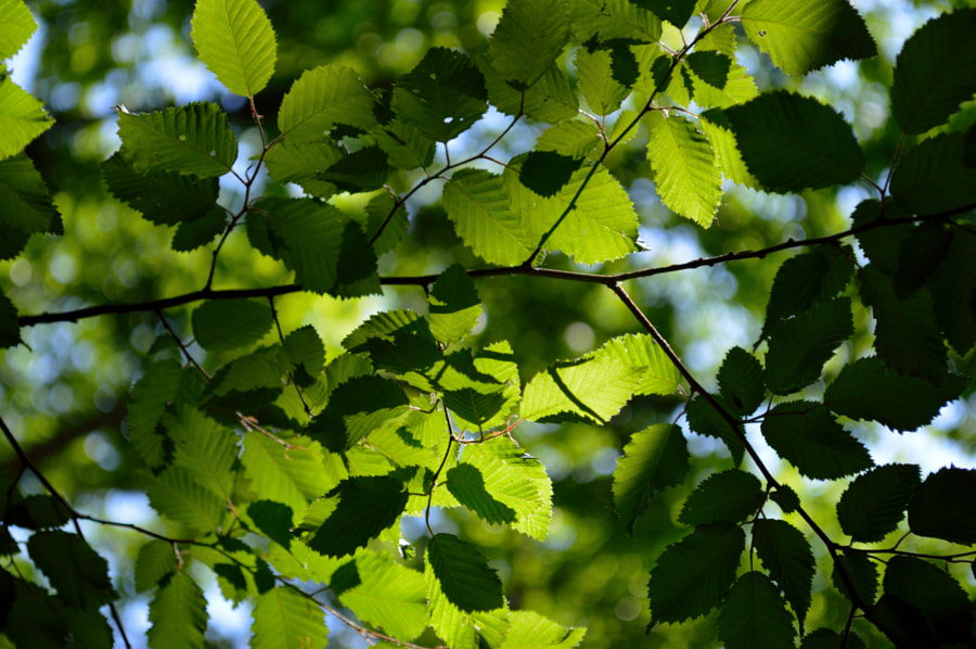 Photograph Sunlight in fresh tree leaves by Papanikolaou Joanna on 500px