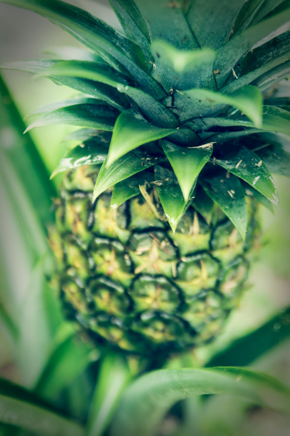 So This is Where Pineapples Come From by Andy Roth on 500px.com