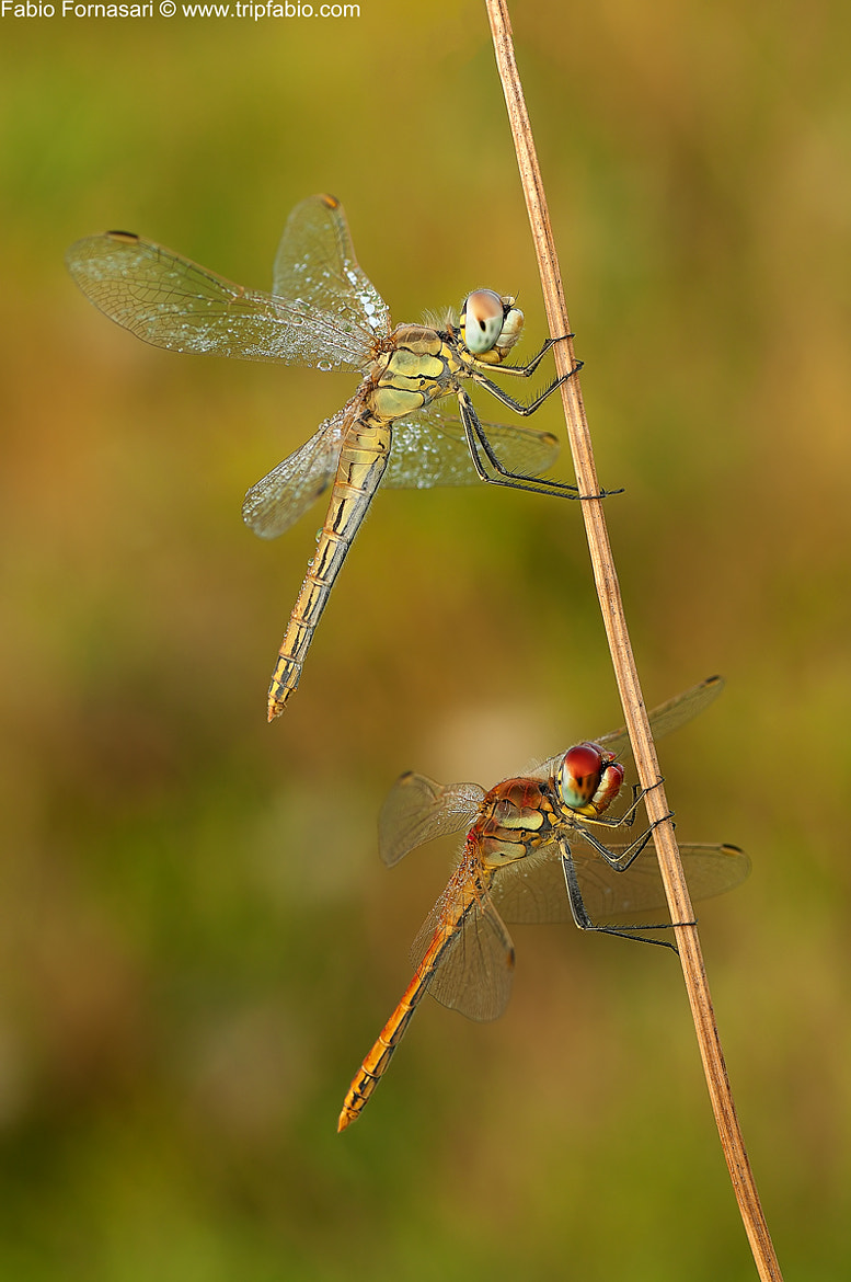 Photograph Double Sympetrum fonscolombii by Fabio Fornasari on 500px