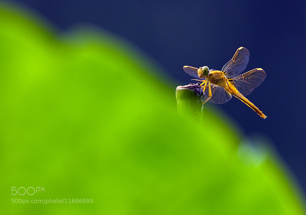 Photograph dragonfly by dongfeng wu  on 500px