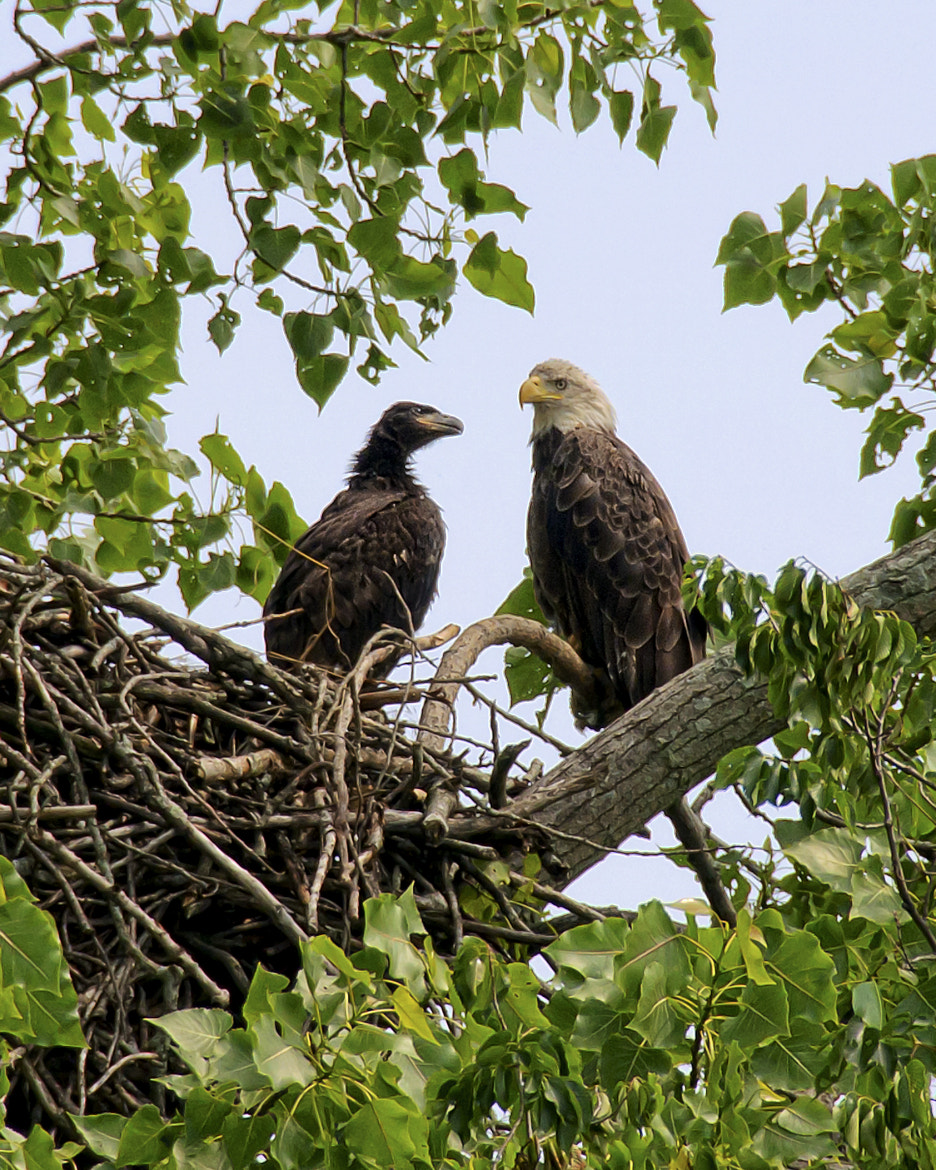 Photograph Bald Eagle & Eaglet by Michael Whittaker on 500px