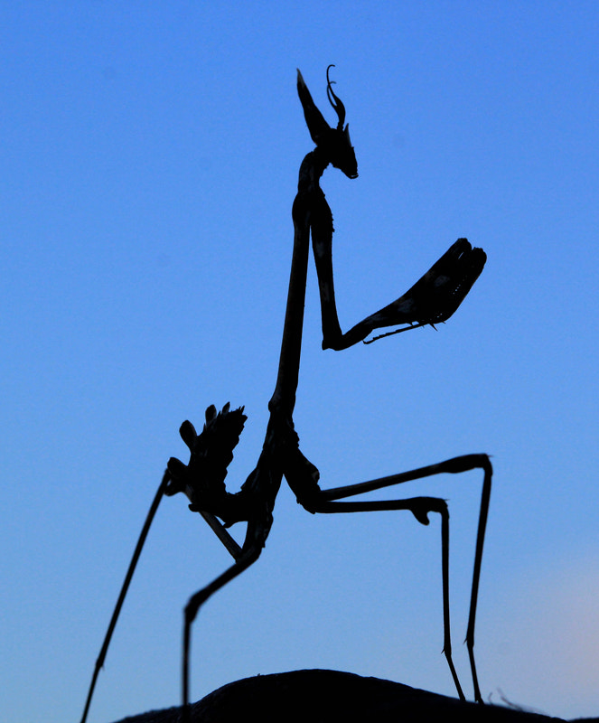 Photograph Mantis Silhouette. by Necdet Yasar on 500px