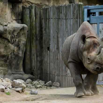 Eastern Black Rhinoceros at Lincoln Park Zoo