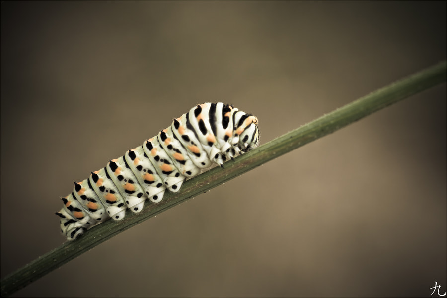 Photograph Tiger caterpillar by Frédéric Baque on 500px