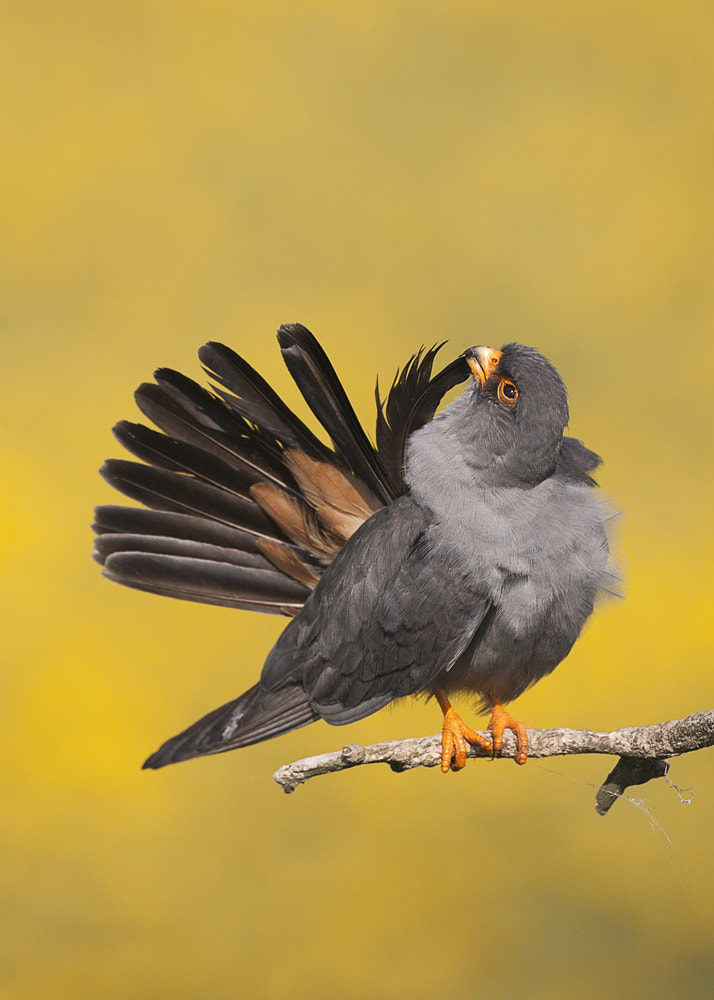 Photograph Red-Footed Falcon by Michael Southcott on 500px
