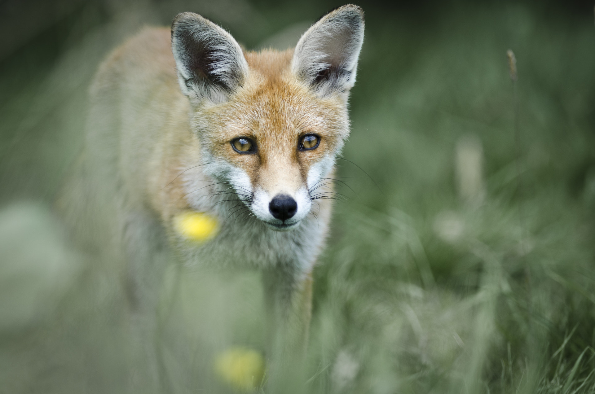 Photograph Fox in the grass by Luke Millward on 500px