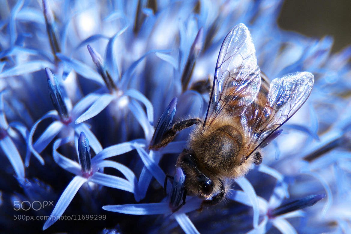 Photograph BEE AT WORK by Roland Haßler on 500px