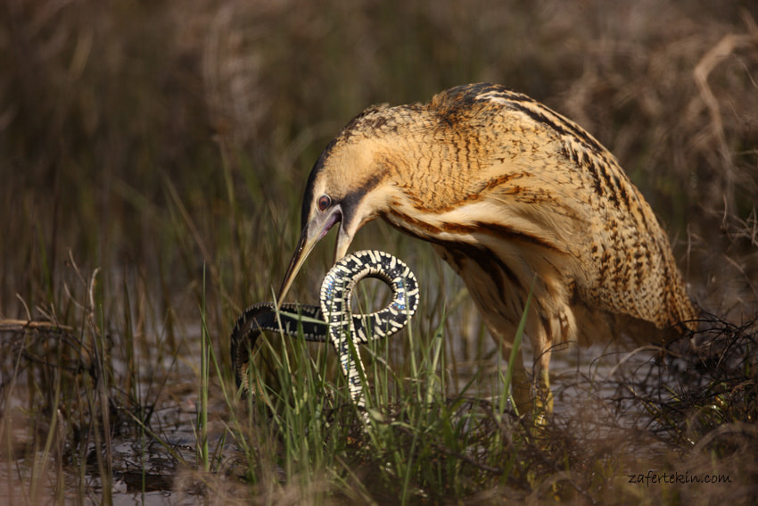 Photograph Great bittern  by Zafer Tekin on 500px