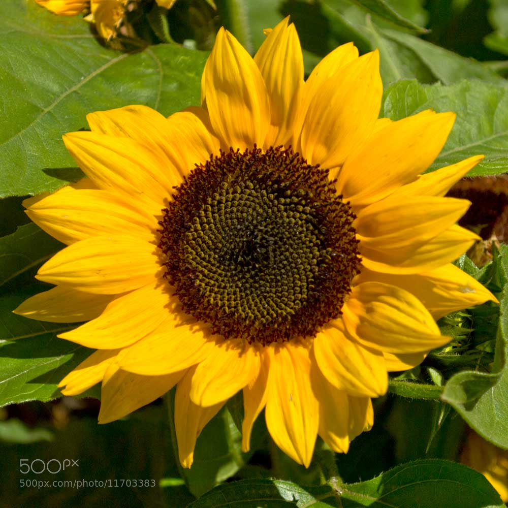 Photograph Sunflower by Steve Sutherland on 500px