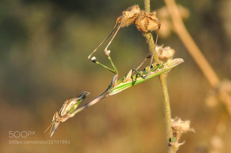 Photograph Stick mantis hanging by David Martín López on 500px