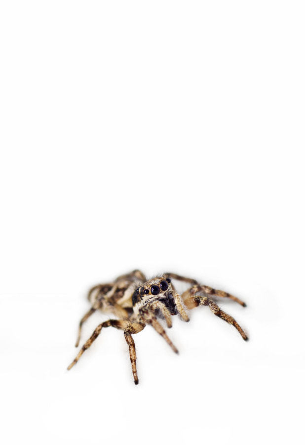 macro-photography - Jumping Spider white by Robert K. Baggs on 500px.com