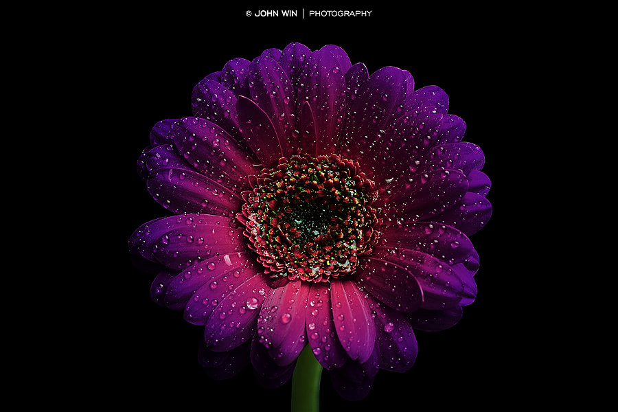 Photograph Waterdrops on Purple Gerbera by John Win on 500px