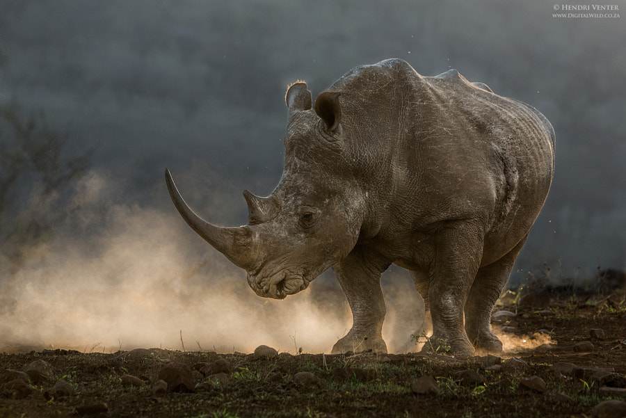 White Rhino in the dust by Hendri Venter on 500px.com