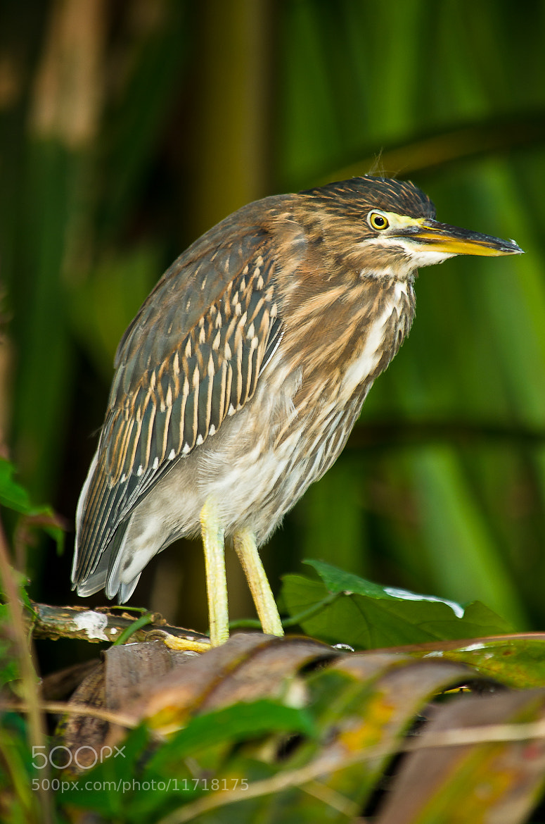 Photograph Striated  Heron  by Vishnu  Prasad on 500px