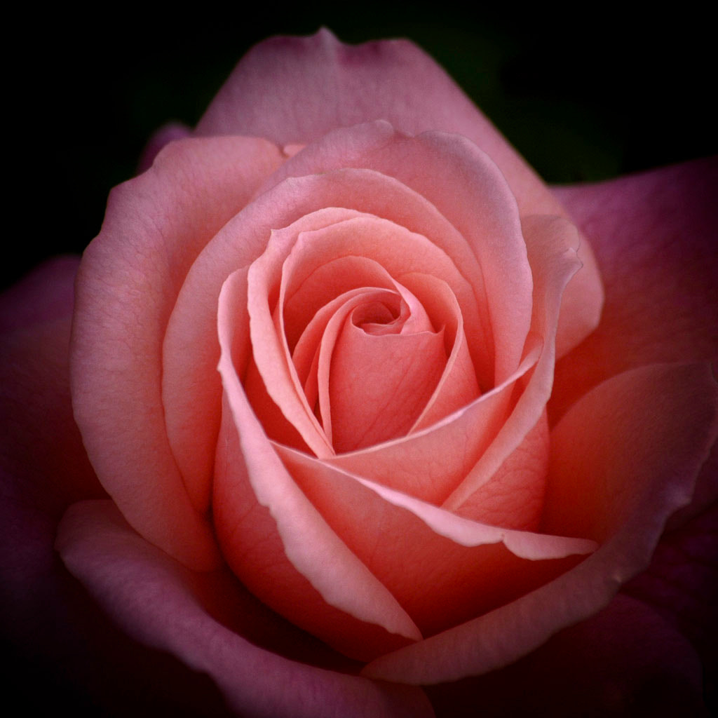 Photograph Pink rose in the dark by Isroi Isroi on 500px