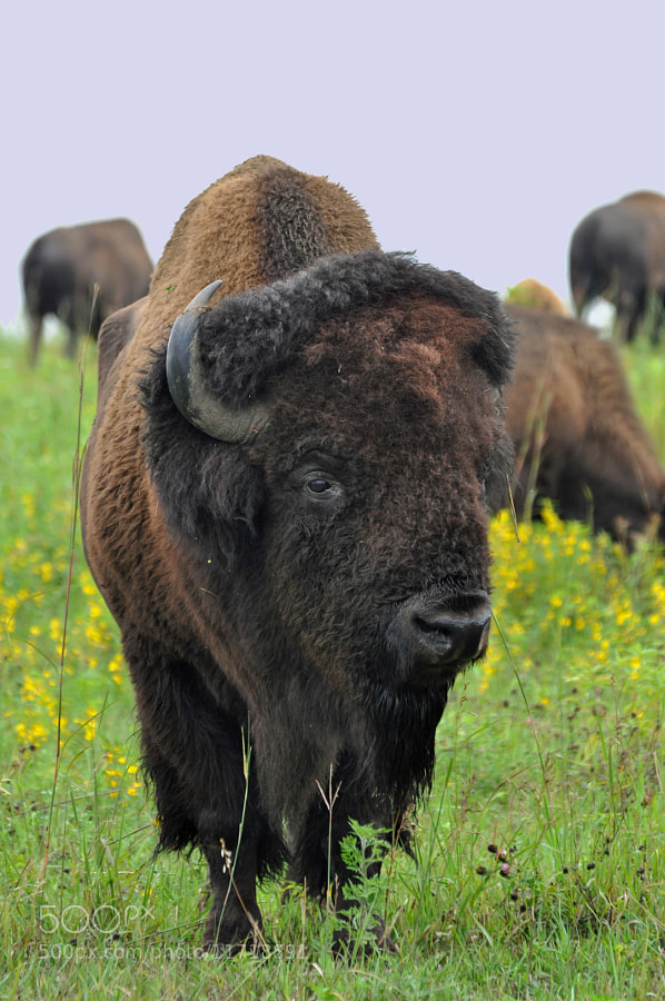 Photograph Buffalo Bull by Karen King on 500px