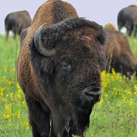 Buffalo Bull by Karen King (wildkingphotos)) on 500px.com