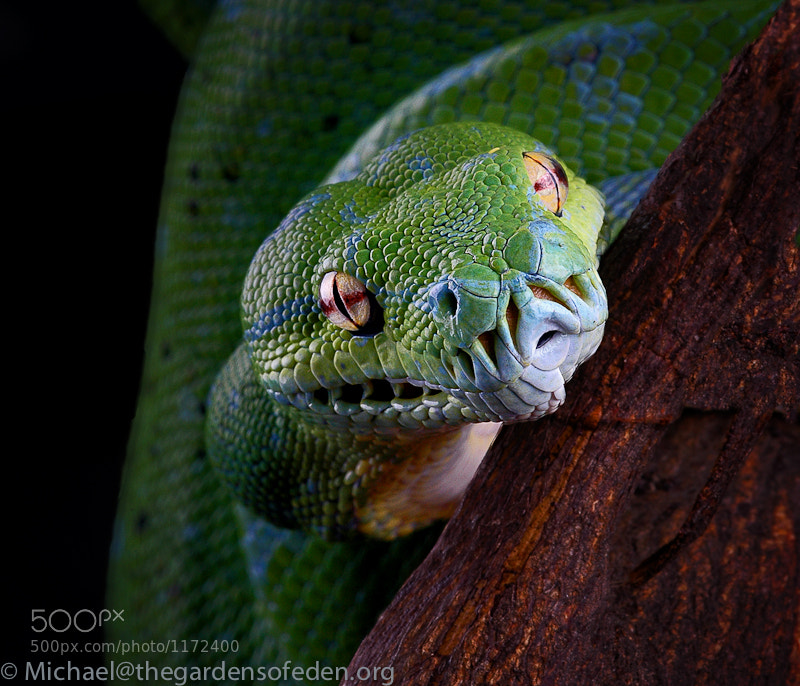 Photograph Morella virdis, Green Tree Python by Michael Kern on 500px